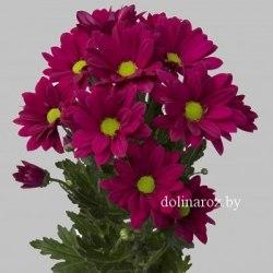 Кустовая хризантема (ромашка) Пурпл Стар (Purple Star)