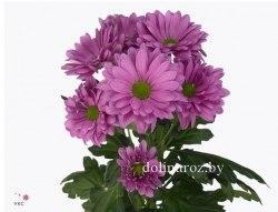 Фиолетовая кустовая хризантема (ромашка)