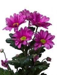 Кустовая хризантема Мемфис Пинк (Memphis Pink)