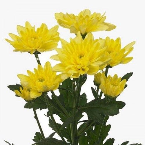 Желтая кустовая хризантема Балтика (Baltica)
