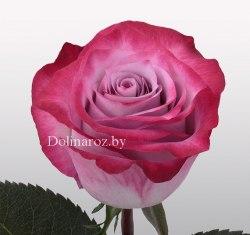 Роза Дип Пёрпл (Deep Purple)