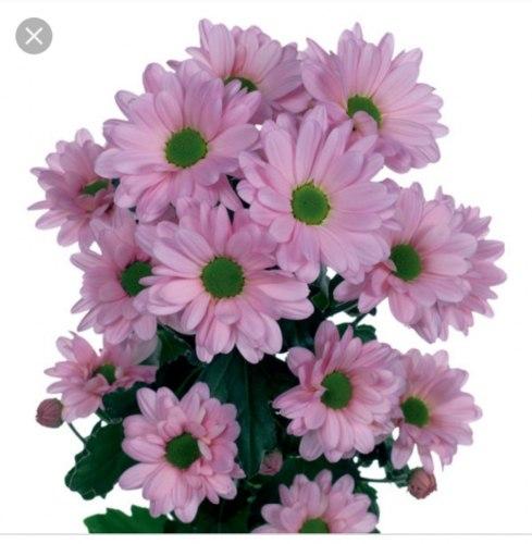 Сиреневая/розовая кустовая хризантема (ромашка)