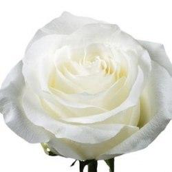 Роза Прауд (Proud)