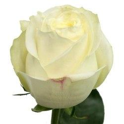 Роза Полар Стар (Polar Star)