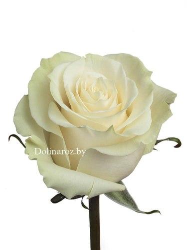 Роза Мондиаль (Mondial)