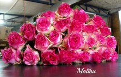 """Роза """"Maliby"""""""