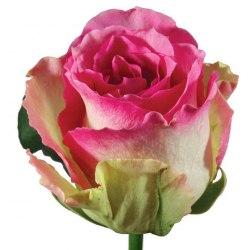 Роза Малибу (Malibu)