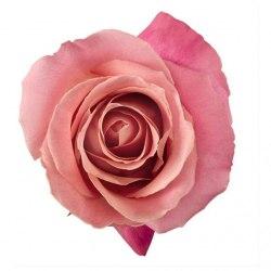 Роза Хермоса (Hermosa)