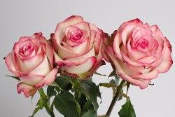 Роза Палома (Paloma)