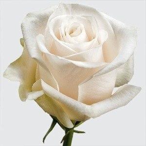 "Роза ""Vendella"""