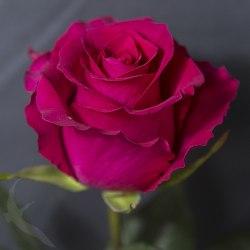 Роза Готча (Gotcha)