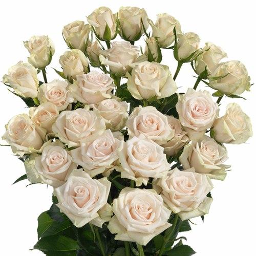 Кустовая роза Роял Порселина (Royal porcelina)
