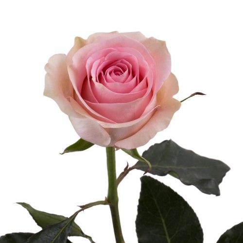 Роза Лучиано (Luciano)