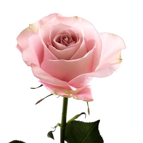 Роза Сикрет Гарден (Secret Garden)