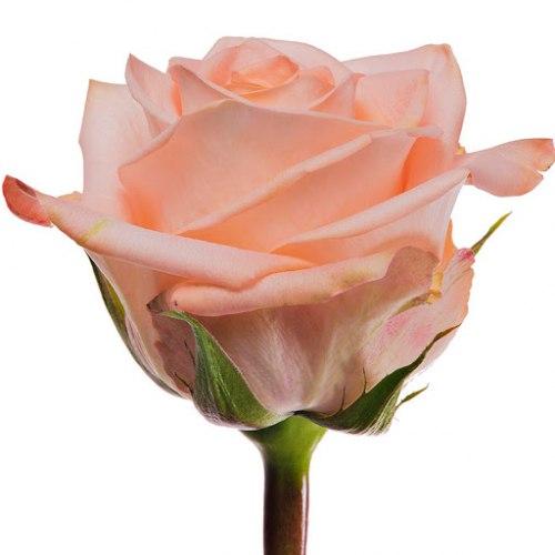 Роза Тиффани (Tiffani)