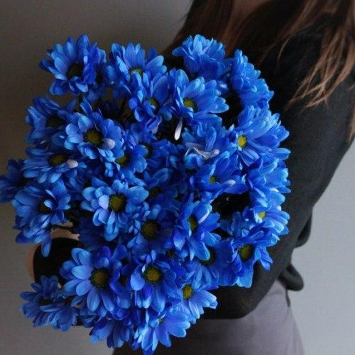 Синяя кустовая хризантема (ромашка)