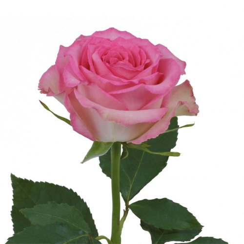 Роза Свит Юник (Sweet Unique)