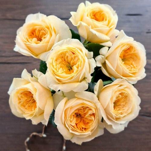 Пионовидная роза Персуэишн (Persuasion)