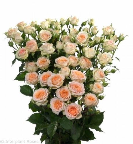 Кустовая роза Розанелла (Rosanella)