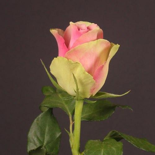 Роза Бэлла Роуз (Bella Rose)