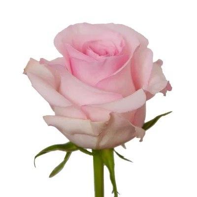 Роза Нэна (Nena)
