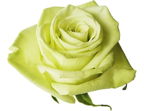 Цветы розы оптом купить минск цена, букет невесты из любых цветов