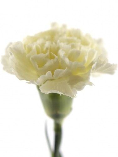 Гвоздика (Диантус) Белая