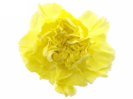Гвоздика (Диантус) Желтая