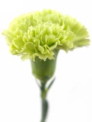 Гвоздика (Диантус) Зеленая