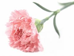 Гвоздика (Диантус) Розовая