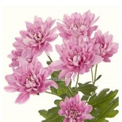 Хризантема кустовая Балтика розовая/сиреневая Baltica Pink