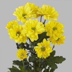 Хризантема кустовая Бакарди желтая Bacardi Sunny