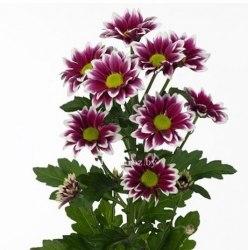 Хризантема кустовая Фиолетовая с белой окантовкой