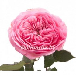 Пионовидная роза Мария Тереза