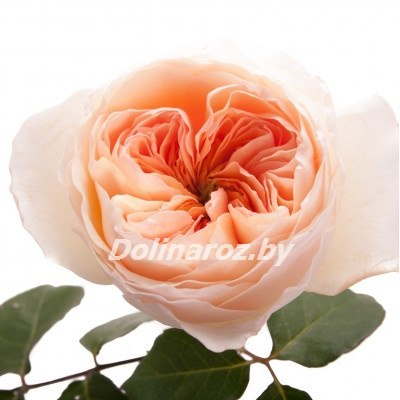 """Пионовидная роза """"Джульета"""""""