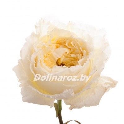 Роза голландия оптом москва