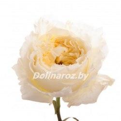 Пионовидная роза Пейшенс