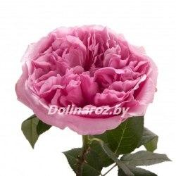 Пионовидная роза Миранда