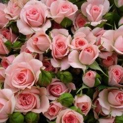 Кустовая роза 70 см 10 шт.