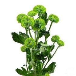 Хризантема кустовая Филин Грин Feeling Green