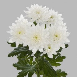 Хризантема кустовая Балтика белая Baltica White