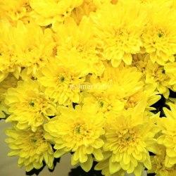 Хризатема кустовая Зембла желтая Zembla Sunny