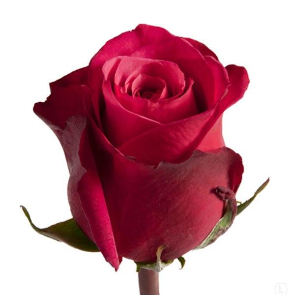 красивые картинки фото розы