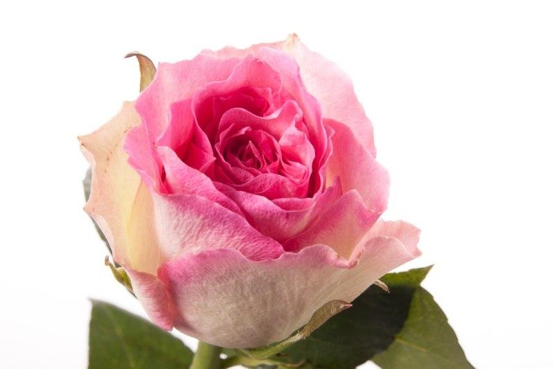 Купить розы в бресте купить штамб для розы