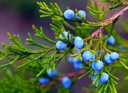 Олія ефірна ялівцева Flora Secret 10 мл