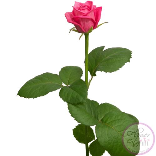 """Роза """"Аква"""""""