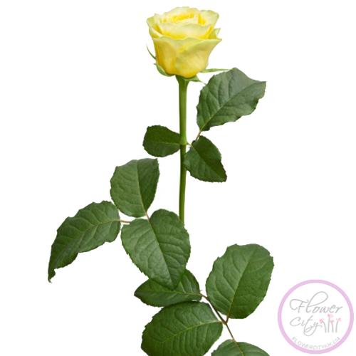 """Роза """"Пенни Лейн"""""""