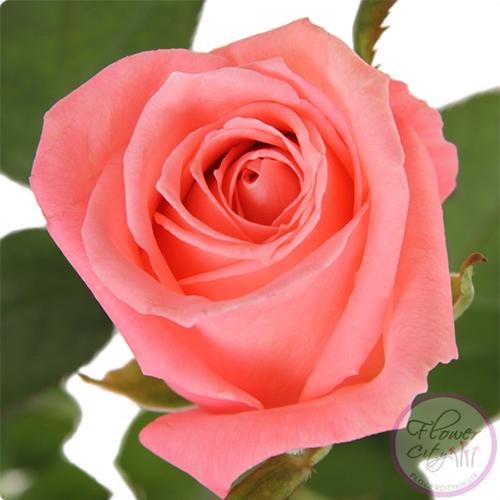 """Роза """"Карина"""""""