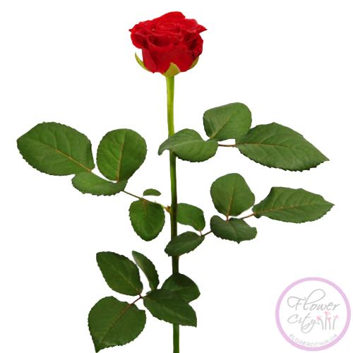 """Роза """"Эль Торо"""""""