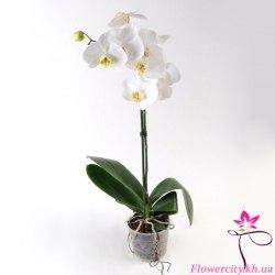 Орхидея Фаленопсис белый 1 цв.